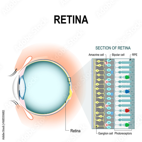 Fotomural  retinal cells: rod and cone cells
