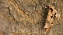 Achemon Sphinx Moth Side Veiw ...