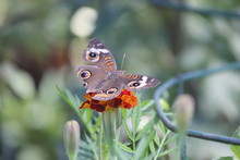 Butterfly With Hurt Wings