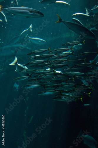 Pacific chub mackerel Scomber japonicus school Poster
