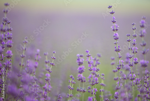 Lavender field. Composition of nature. #168580245