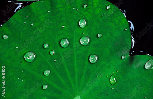 Fotografía Close-up tropical lotus leaves with drops of water on it surface