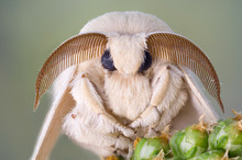 Silk Moth Portrait. White Fur ...