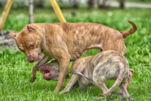 Two American Pit Bull Terrier Playing