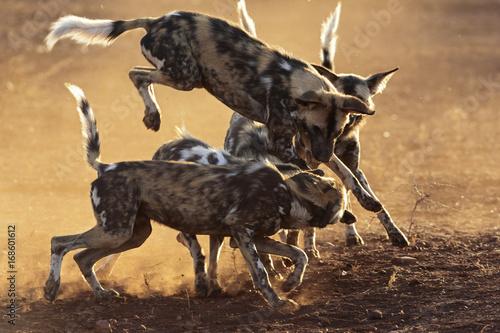 Photo  Wild Dog Jump