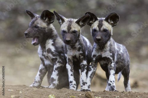Poster Hyène Wild Dog Pups
