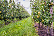 Ripening Conference Pears In A...