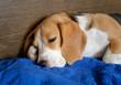 Beagle dog sleeping on the blue towel