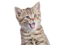 Surprised Funny Cat Portrait I...