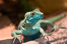Blue Lizard On Stone