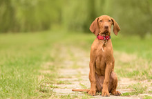 Beautiful Hungarian Vizsla Dog...