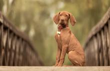 Beautiful Hungarian Vizsla Dog...