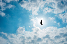 Silhouette Steppe Eagle Flying In Cloudy Sky