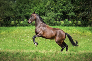 Happy horse rearing up on the field in summer