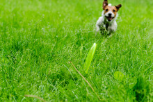 Dog Chasing Green Disc In Grass (selective Focus On Toy)