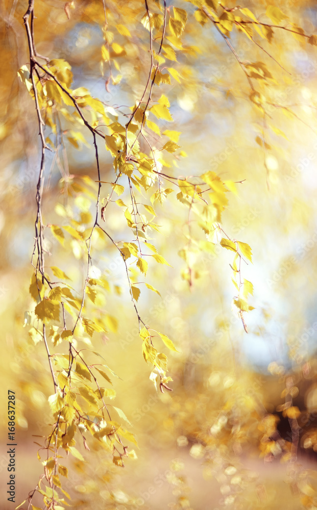 Branches of the birch with yellow leaves