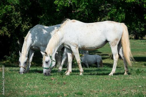 Fototapeta Stupendi Cavalli lipizzani bianchi in prateria estese e verdi recinto bianco
