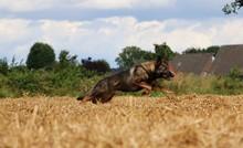 Belgischer Schäferhund Hat Ganz Viel Spaß Auf Einem Stoppelfeld