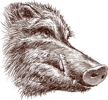 Muzzle Of A Wild Boar