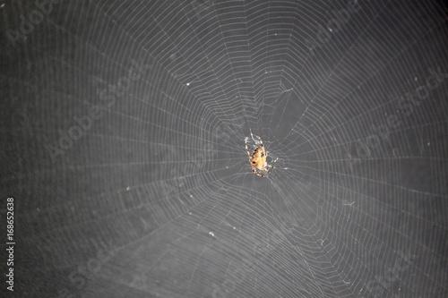 Araneus diadematus et sa toile