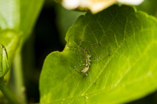 Leafhopper Assassin Bug (Zelus...