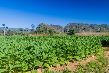 Fototapeta na wymiar Tobacco field near Vinales, Cuba