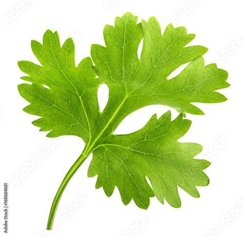Fototapeta Green cilantro, parsley isolated on white background obraz