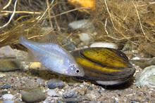 Bitterling (Rhodeus Amarus)