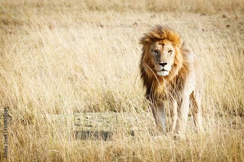 Zdjęcie XXL Lew w Kenii Afryce z miejsca kopiowania