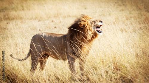 Zdjęcie XXL Lwa huczenie w Kenja Afryka