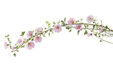 Pink Hollyhock Flowers