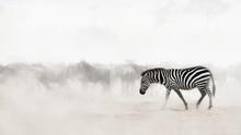 Zebra In Dust Of Africa