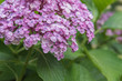 Close up of beautiful purple hydrangea flowers blooming in summer garden