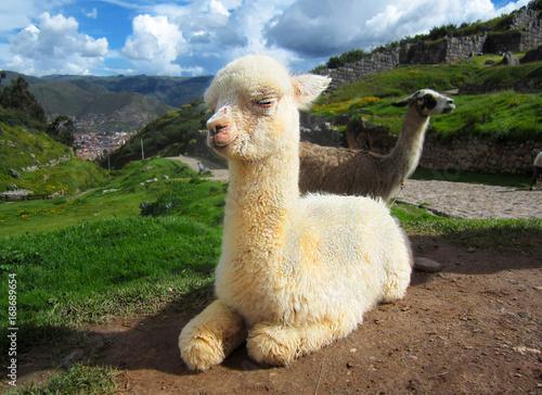 Staande foto Lama Baby llama sitting in Peru