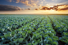Rows Of Ripe Cabbage Under The...