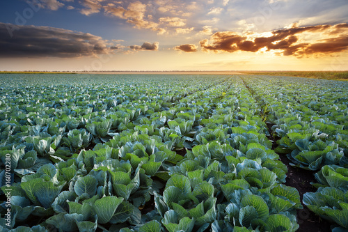 Photo Rows of ripe cabbage under the evening sky.