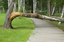 Broken Birch Tree On The Woode...