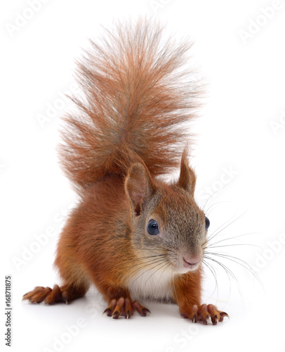 Foto op Canvas Eekhoorn Eurasian red squirrel.