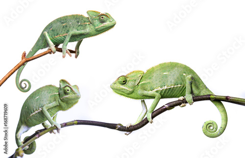 chameleons - Chamaeleo calyptratus on a branch isolated on white