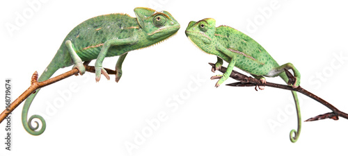 chameleons - Chamaeleo calyptratus on a branch isolated on white