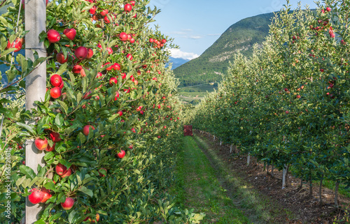 View down the idyllic fruit orchards of Trentino Alto Adige, Italy. Trentino South Tyrol.