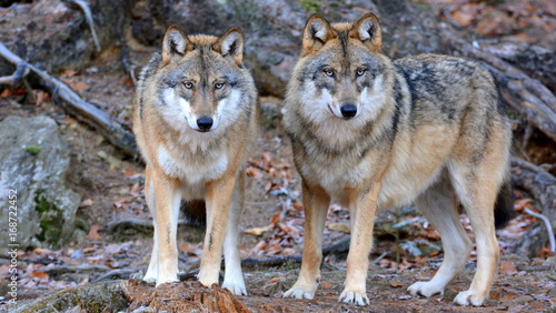 Poster de jardin Loup Der Wolf - canis lupus