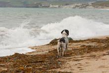 English Springer Spaniel Dog O...