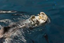 Otter Zoo Closeup Swimming Wat...