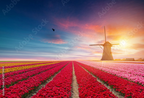 Foto  Landscape with tulips, traditional dutch windmills and houses near the canal in