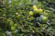 Reife Äpfel im Biogarten