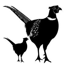 Pheasant. Pheasant Illustration Isolated On White Background