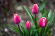 Pink Tulips growing  in a garden, summer day