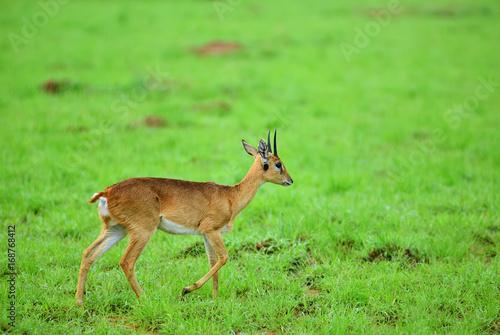 Poster Deer Dik-dik. Murchison Falls national park, Uganda