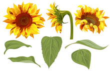 Set Of Sunflower: Yellow Flowers, Bud, Green Leaves On White Background, Floral Elements For Design. Digital Draw, Vector Illustration In Watercolor Style